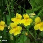 Mimulus luteus - Gele maskerbloem - Mimulus luteus