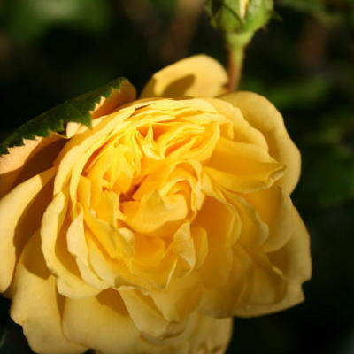 Rosa 'Yellow MEILOVE' - Roos, patioroos