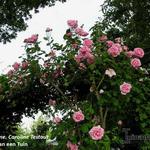 Rosa 'Mme Caroline Testout' - Rosa 'Mme Caroline Testout' - Roos