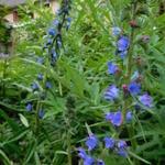 Echium plantagineum 'Blue Bedder' - Echium plantagineum 'Blue Bedder' - Slangenkruid