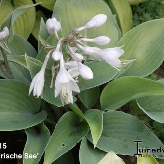 Hosta 'Irische See'