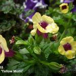 Torenia 'Yellow Moon' - Torenia 'Yellow Moon' - Torenia