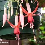 Fuchsia 'Helena' - Fuchsia 'Helena' - Bellenplant