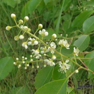 Prunus serotina -