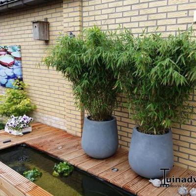 Fargesia murieliae  'Jumbo' - Bamboe - Fargesia murieliae  'Jumbo'