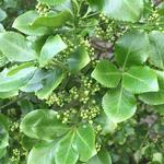 Euonymus fortunei 'Vegetus' - Kardinaalsmuts