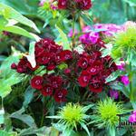 Dianthus barbatus 'Heart Attack' - Dianthus barbatus 'Heart Attack' - Duizendschoon