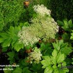 Peucedanum ostruthium - Peucedanum ostruthium - Meesterwortel, Varkenskervel