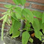 Amaranthus caudatus 'Green Cascade' - Amaranthus caudatus 'Green Cascade' - Kattenstaartamarant