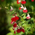Salie - Salvia x jamensis 'Hot Lips'