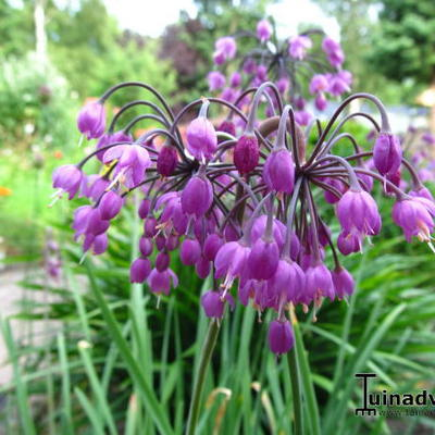 Allium cernuum 'Pink Giant' -