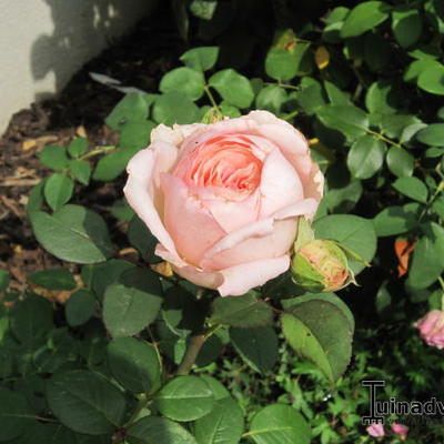 Rosa 'Lovely Kiss' -