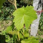 Vitis vinifera 'Dornfelder' - Druif, blauwe druif - Vitis vinifera 'Dornfelder'