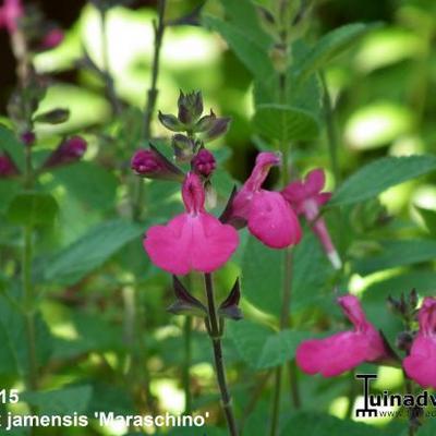 Salvia x jamensis 'Maraschino' -