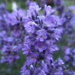 Lavandula angustifolia 'Essence Purple' - Lavendel
