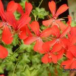 Pelargonium Villetta 'Orange' - Hanggeranium