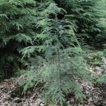 Tsuga heterophylla - Westerse hemlockspar - Tsuga heterophylla
