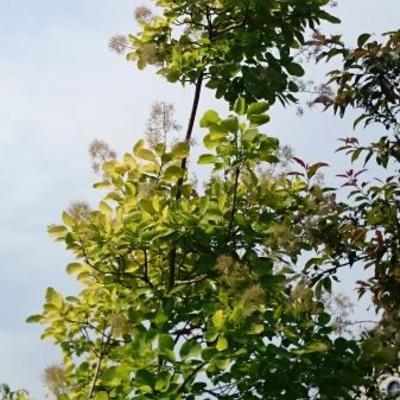 Cotinus coggygria 'Golden Spirit' -