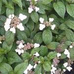 Hydrangea serrata 'Beni-gaku' -