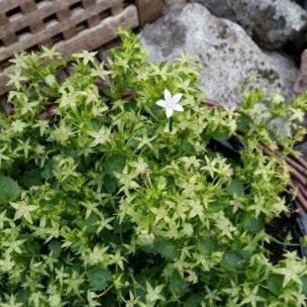 Campanula Addenda 'White Star'
