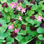 Oxalis tetraphylla 'Iron Cross' - Oxalis tetraphylla 'Iron Cross' - Klaverzuring, Geluksklavertje, Klavertje vier