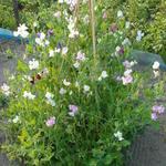 Lathyrus odoratus - Lathyrus odoratus - Reukerwt / pronkerwt