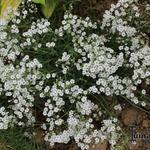 Gypsophila repens 'White Angel' - Kruipend gipskruid