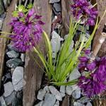 Allium cyathophorum var. farreri - Allium cyathophorum var. farreri - Sierui