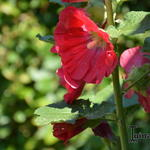 Alcea rosea Spotlight 'Mars Magic' - Stokroos