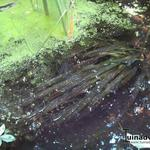 Vallisneria gigantea - Reuzenvallisneria - Vallisneria gigantea