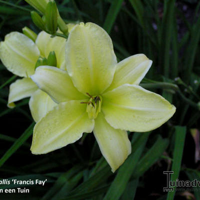 Hemerocallis 'Frances Fay' -