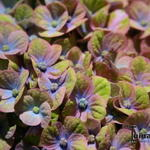 Hydrangea macrophylla 'MAGICAL Coral Blue' - Hortensia