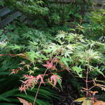 "Acer palmatum ""Green Globe"" - Acer palmatum ""Green Globe"" - Japanse esdoorn"