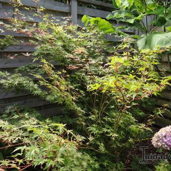 Japanse Esdoorn Acer Palmatum Green Globe