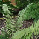 Dryopteris cycadina - Olifantenslurfvaren - Dryopteris cycadina