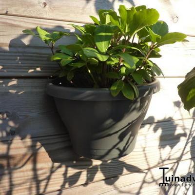 Helleborus niger  'Verboom Beauty' -