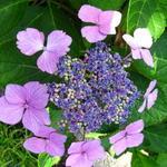 Hydrangea macrophylla 'Blue Wave' - Hortensia - Hydrangea macrophylla 'Blue Wave'