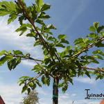 Morus alba 'Fruitless' - Witte moerbei - Morus alba 'Fruitless'