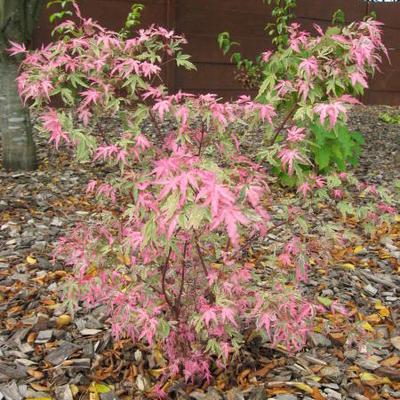 Acer palmatum 'Taylor' -