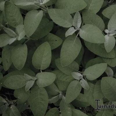 Salvia officinalis 'Maxima' -
