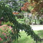 Acer davidii 'Rosalie' - Acer davidii 'Rosalie' - Slangenhuidesdoorn