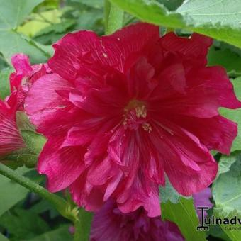 Alcea rosea 'SPRING CELEBRITIES Carmine Rose'