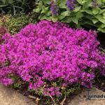 Kruiptijm - Thymus praecox 'Red Carpet'