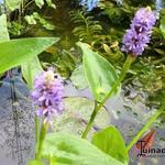 Pontederia azurea - Pontederia azurea - Blauw snoekkruid, Blauwe moerashyacint