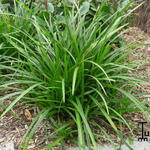 Carex foliosissima 'Irish Green' - Zegge