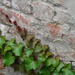 Parthenocissus tricuspidata 'Veitch Boskoop' - Parthenocissus tricuspidata 'Veitch Boskoop' - Wilde wingerd
