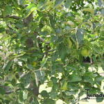 Malus domestica 'Granny Smith' - Appel - Malus domestica 'Granny Smith'