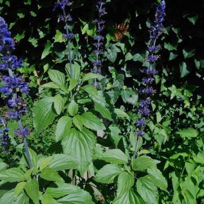 Salvia 'Mystic Spires Blue' -