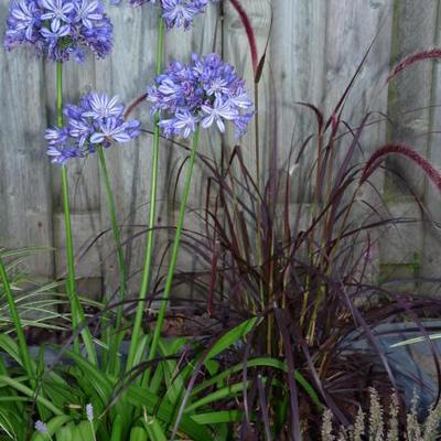 Agapanthus 'Bluety' -