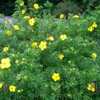 Potentilla fruticosa ' Goldfinger' - Struikganzerik - Potentilla fruticosa ' Goldfinger'